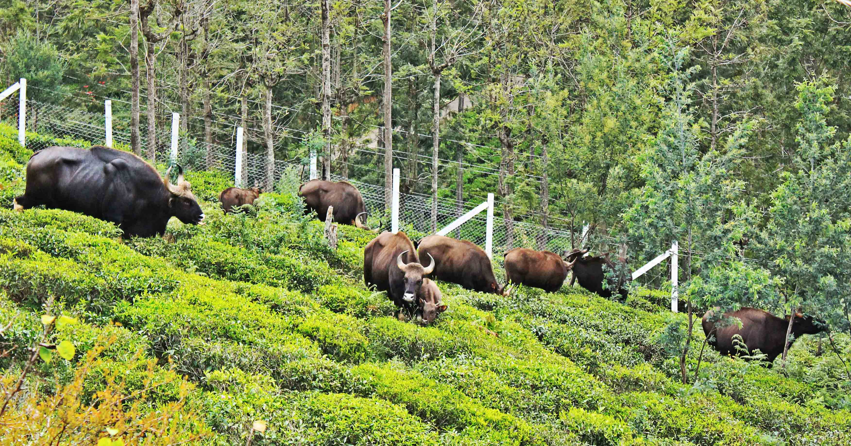 preempting conflict humangaur interactions in the nilgiris