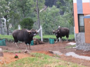 Gaur outside the Keystone canteen. Not just humans come here seeking food