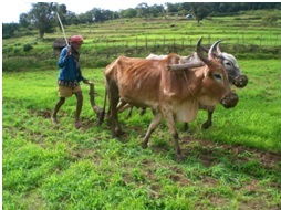 Tilling the millet field